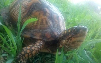 Box turtles are fun, fascinating, and need protection.