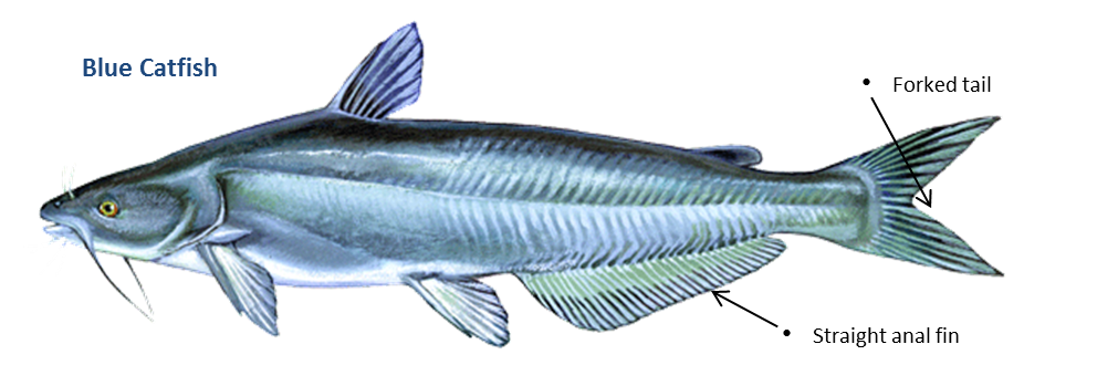Can i eat the fish i catch in the rappahannock river for Types of saltwater fish to eat